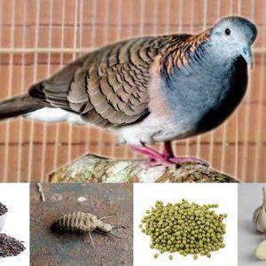 Ramuan Tradisional Bagi Burung Perkutut